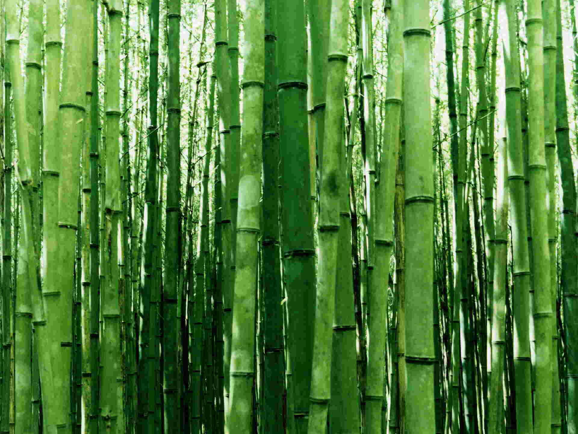 Niwaki for Jardin zen bambou